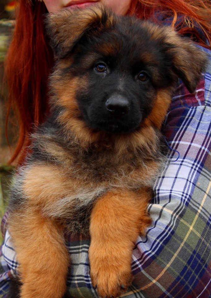 Julie Martinez German Shepherd Puppies