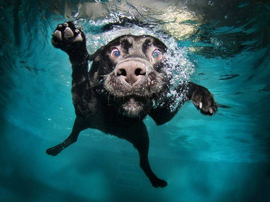 Swimming dogPuppies, Dog Photos, Dogs Photography, Pets, Underwater Photography, Dogs Photos, Underwater Dogs, Dog Photography, Black Labs