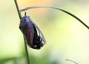 Papillons en liberté - Vie de chenille !