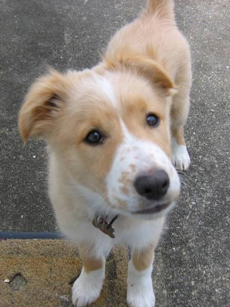 border collie sheltie mix -- Look at this face!!! :D