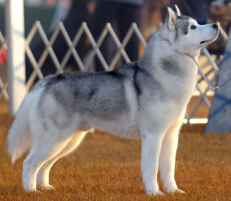Shenandoah Pomskies Review - Virginia Pomsky Breeder | Pomsky Pup