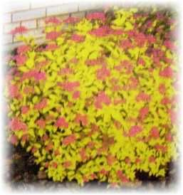 Shrubs for sun sun loving shrubs every blooming thing for Low maintenance drought tolerant plants