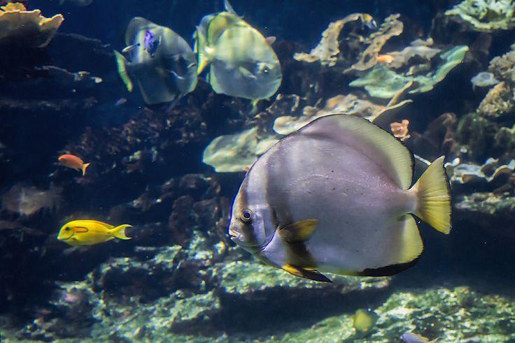 #Batfish (Platax orbicularis ) - #Nausicaa aquarium, Boulogne Sur Mer, France - www.gdecooman.fr portfolio, cours et stages photo à Lille, visites guidées de Lille.