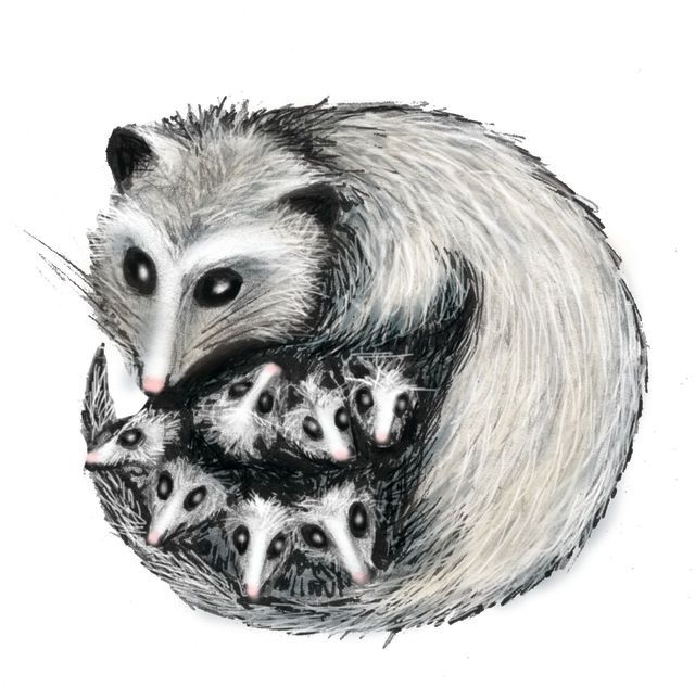 8 Best Possum Images On Pinterest Opossum Wild Animals