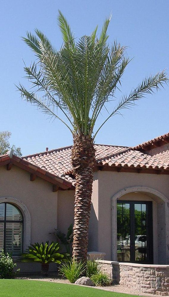 Cool Date Palm - Degelt or Medjool Not Sure - western type house - Buy Date Palms #BuyDatePalmTrees RealPalmTrees.com #largepalms #Texas #California #Florida
