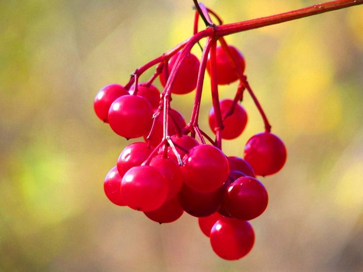 red berries ... cumberland ferry