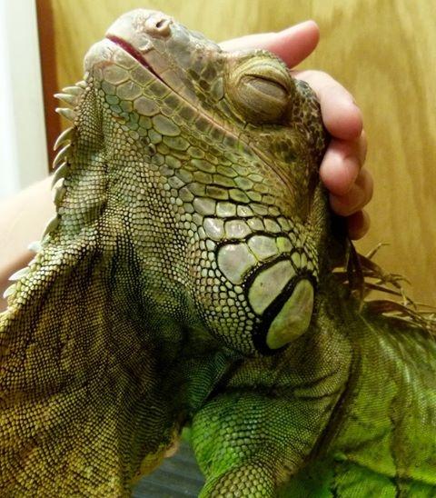 Smiling iguana.