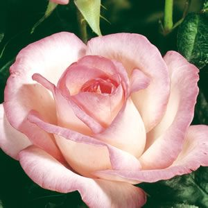 <p> Princess de Monaco (MEImagarmic) has cream blooms with pink edging. Large elegant and highly fragrant.</p> <p> Hybrid Tea roses provide a colourful display from late spring to late autumn. Upright bushes producing classicly shaped blooms on long stems, ideal to grow as cutflowers. They are hardy, vigorous, long (repeat) flowering and disea...