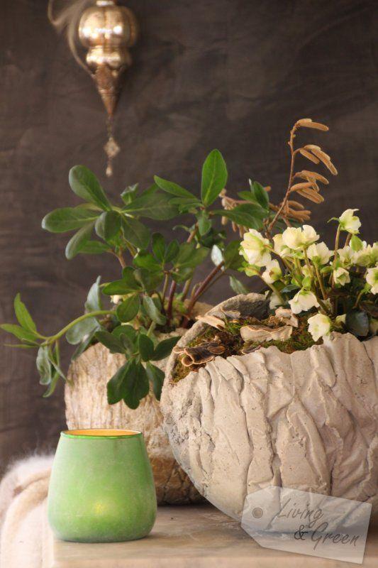 Hexen und Orakel *Helleborus niger*  - Helleborus Jänner Dekoration