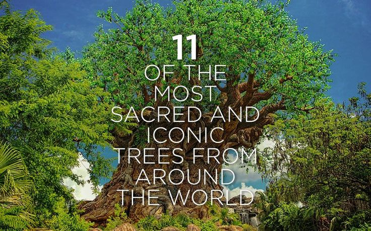 11 of the Most Sacred and Iconic Trees from Around the World | Garden Buildings Direct Blog