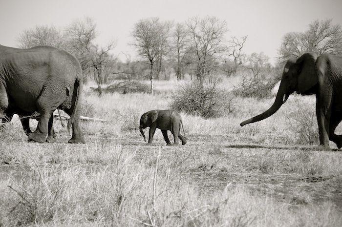 safari: Elephant
