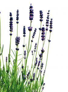 Ein selbstgemachtes Deo kann schlechten Körpergeruch deutlich verbessern - Lavendelgeruch ohne schädliche Aluminiumverbindungen