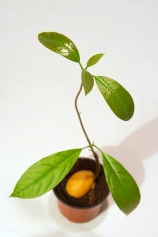 How to Care for Avocado Tree | eHow