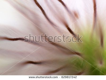 Pulsatilla close up, soft look, blurry background.