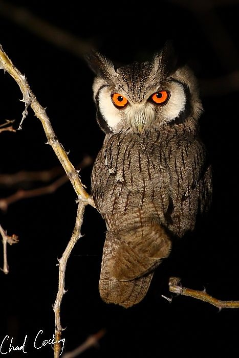 White-faced owl.
