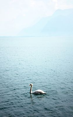 @loboman - Svansjön. Lonely swan in the waters. Available as poster and laminated picture at Printler, the marketplace for photo art.