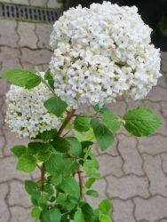 Großblumiger Duft-Schneeball - Viburnum carlcephalum