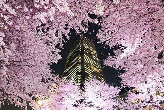 昼間にワイワイと賑やかな花見も楽しいですが、ライトアップされた夜桜も花見の醍醐味!昼とは違う美しさを堪能できる東京都内の「夜桜」スポットを厳選しました。