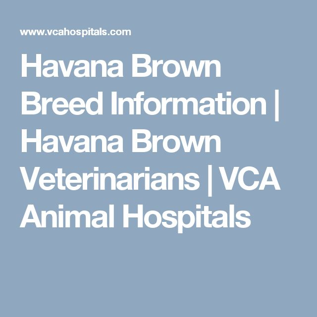 Havana Brown Breed Information | Havana Brown Veterinarians | VCA Animal Hospitals