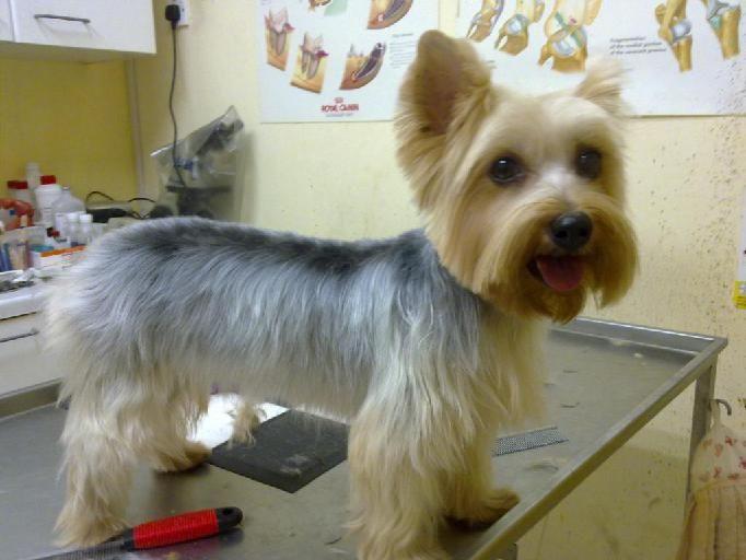 silky terrier short haircut