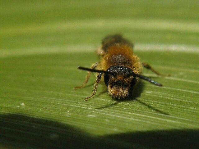 Tawny mining bee..... 27.04.12