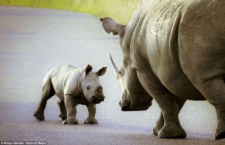 As playful as spring lamb (just a lot heavier): Bouncing baby rhino skips - NowMyNews