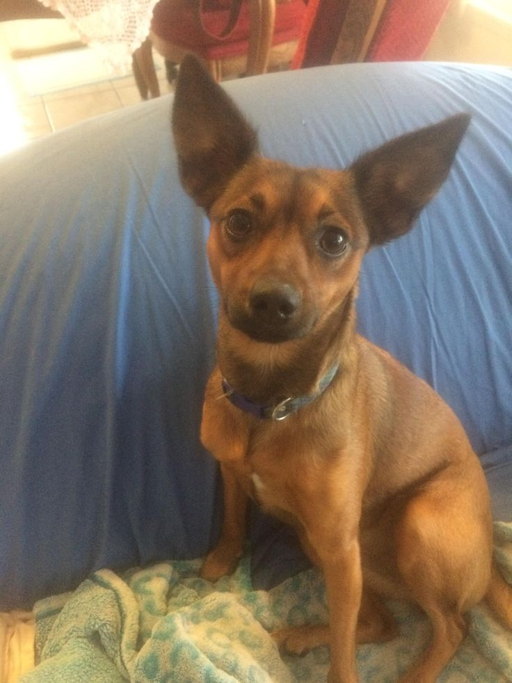 brandy is an adoptable Basenji searching for a forever family near Mission Viejo, CA. Use Petfinder to find adoptable pets in your area.
