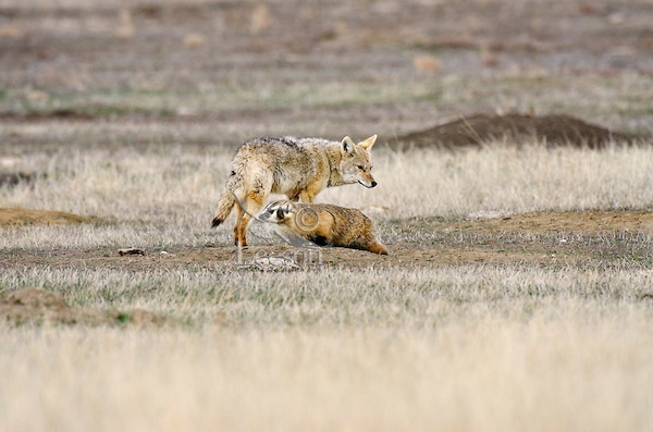 Coyote And American Badger Cooperate In Hunting Black