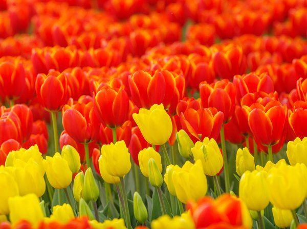 How To Keep Tulip Bulbs For Next Year Tulip Bulbs Tulips Bulb