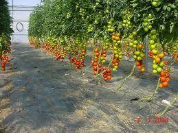 cultivo intensivo tomate