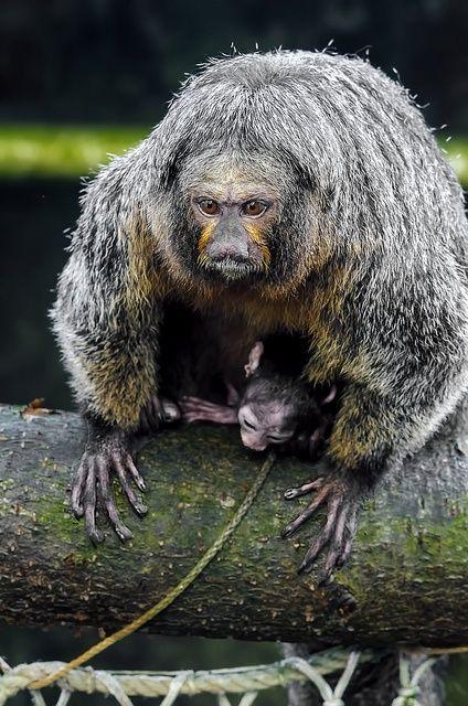 Saki monkey Pithecia pithecia by Sir. Jensen on Flickr