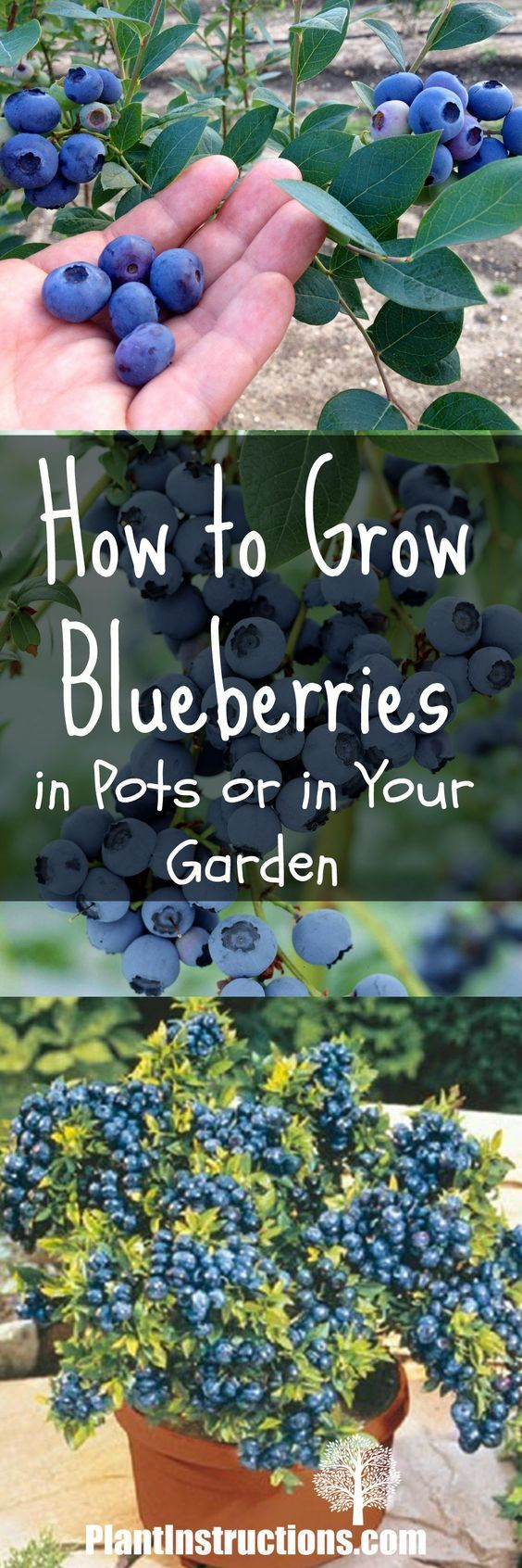 best 25 blueberry bushes ideas on pinterest planting blueberry