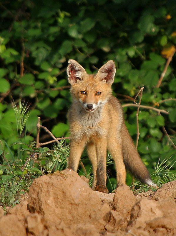 Red Fox Cub by Rafael Lanas Martinez