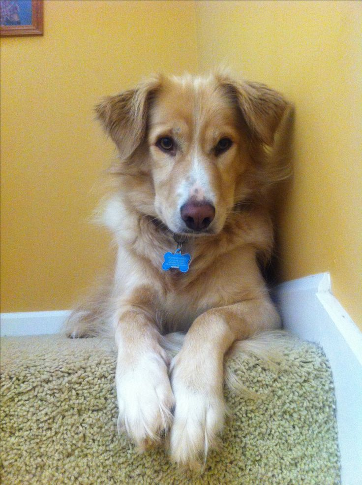 Golden border- golden retriever border collie mix <3