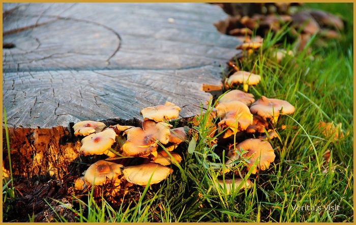 Tree trunk full of mushrooms  #autumn #theNetherlands #landscape #Holland #nature