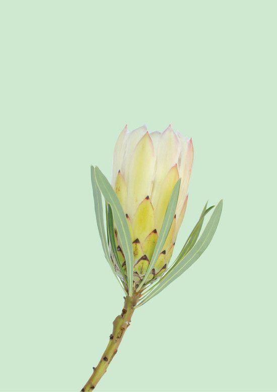 Green Protea print A3