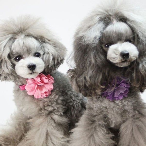 40 Poodle Haircuts You Ll Definitely Love Hairstylecamp Poodle Haircut Toy Poodle Haircut Dog Grooming Styles