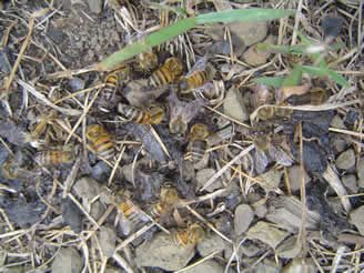 African bees foraging on discarded 'slum gum' after processing wax African bee types on www.apiconsult.com