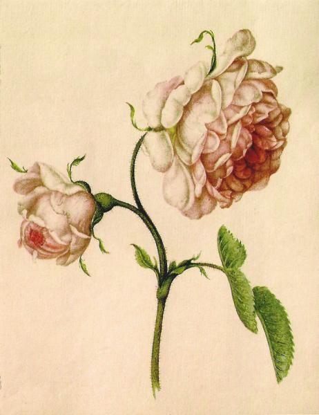 Botanical Lithographs  Alexander Marshal