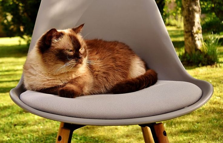 British Shorthair Cat, Cat, Domestic Cat, Beautiful, UK, Short Hair, Animal World