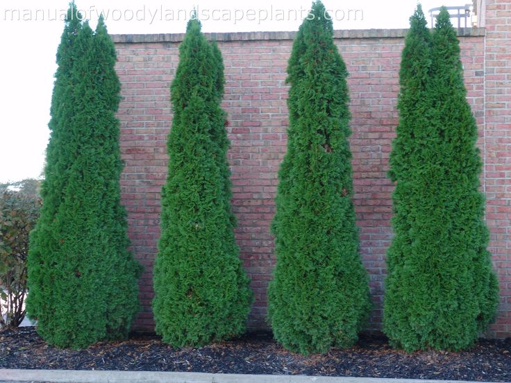 Emerald Arborvitae -- Privacy landscaping - 94.4KB