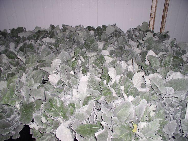 Dusty Miller-Wide Leaf