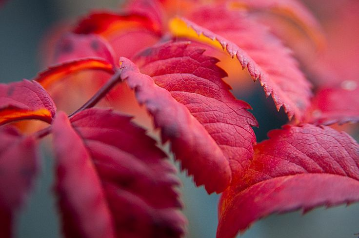 Fall color, descended from Basye's Thornless rose. This year I germinated two seeds from a cross of R. arkansana X 'Carlin's Rhythm', a tetraploid species X a modern tetraploid shrub descende...