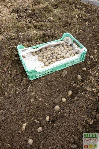 Les 25 meilleures id es de la cat gorie planter patate sur pinterest cultiver des pommes de - Quand planter les patates ...