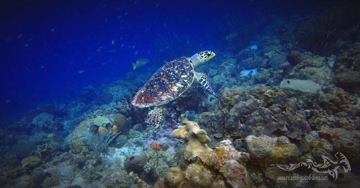 Beautiful hawksbill at the reef of Curacao.. #tauchen #diving #duiken #fun #curacao #relaxedguideddives #scuba #scubadiving #travel #explore #cressi #oceanreef #padi