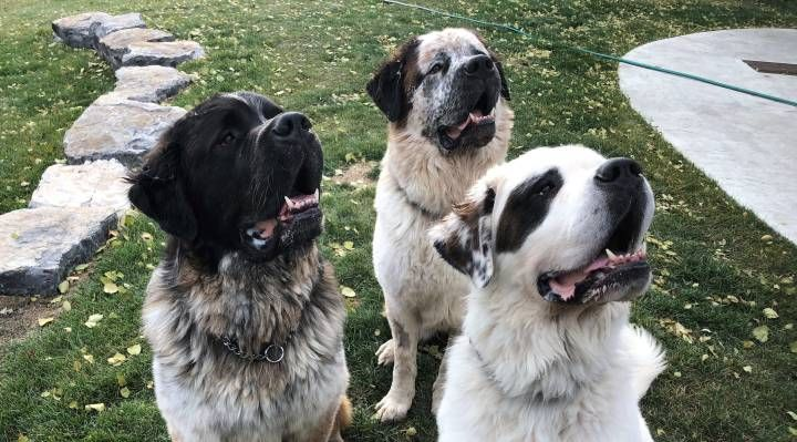Trio Of Saint Bernards Find Forever Home Together With Alberta