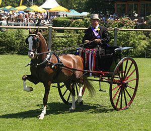 Hackney   Height: The Hackney Horse is between 14 – 15.3hh. The Hackney Pony ...