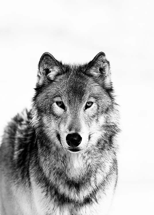 Wolf B&W Poster in der Gruppe Poster / Größen und Formate / 50x70cm bei Deseni… – #50x70cm #animalsTiere #animeTiere #babyTiere