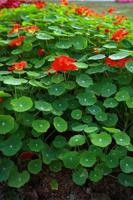 Garden nasturtium/Indian cress, these for next year also, maybe down front by geranium?