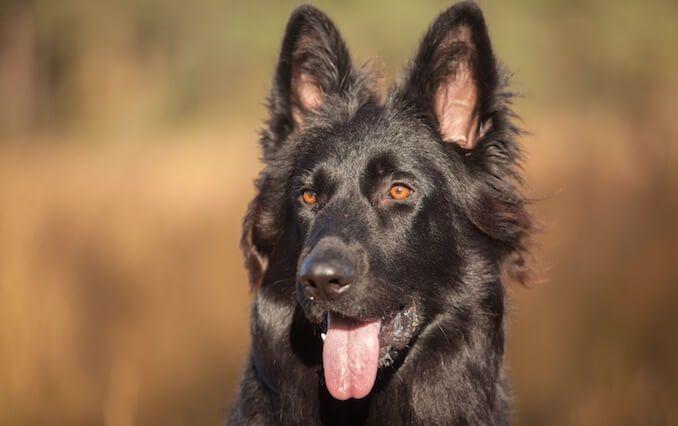 Black German Shepherd The Ultimate Breed Guide German Shepherd